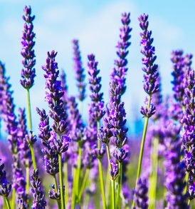 Pure Lavender Essential Oil 2