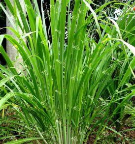 Pure Lemongrass Essential Oil 2
