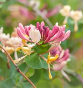 Honeysuckle Fragrance oil