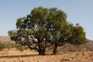 Argan Trees