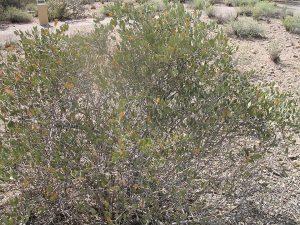 Jojoba (Simmondsia chinensis) shrub